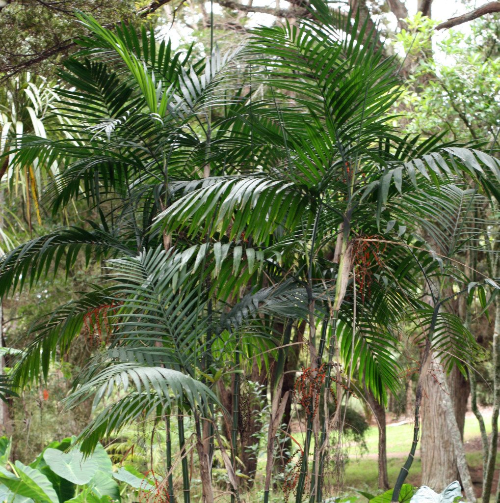 Bamboo palm cleans the air.