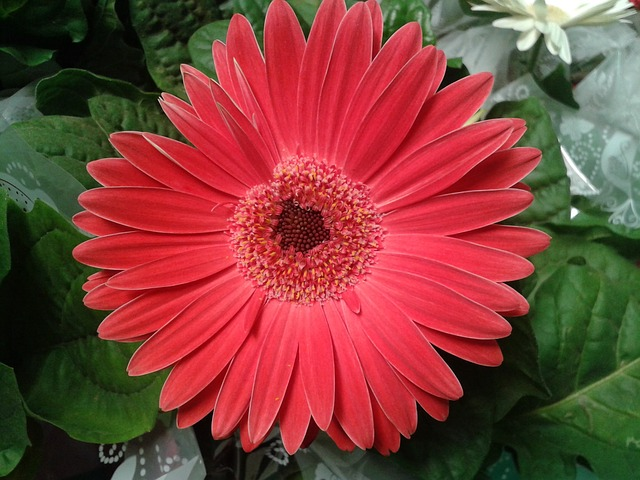 Gerbera daisies clean the air.