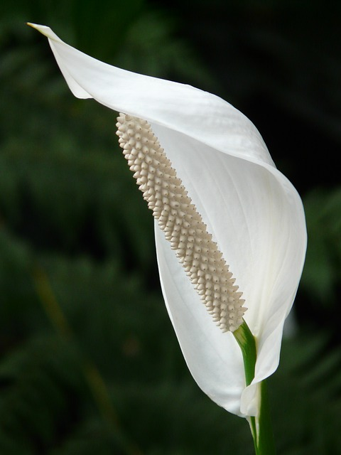 Peace lilies clean the air.